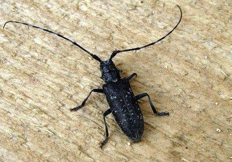 Уничтожение жуков-короедов в доме