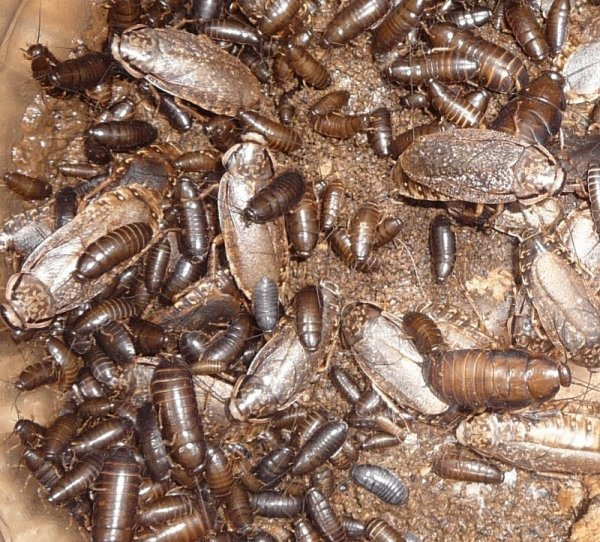 Мраморный таракан: зачем разводят и содержат