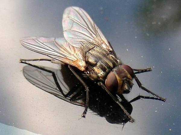 Причины появления больших мух в доме