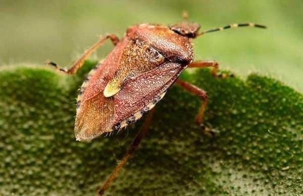 Внешнее описание жука вонючки и его особенности