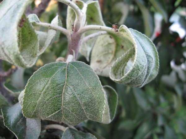 Вредная деятельность тли на плодовых деревьях летом