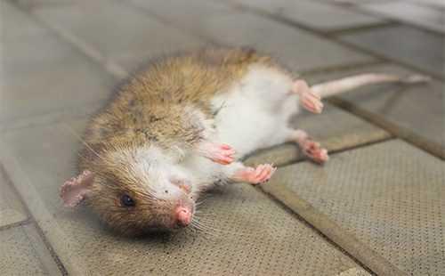 Что такое дератизация, ипочему яд— нелучший способ уничтожить грызунов