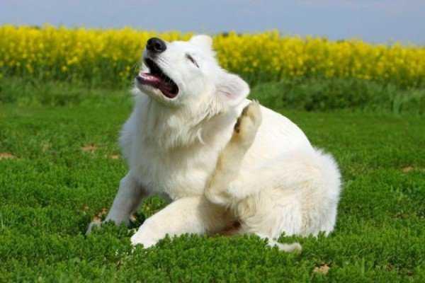 Блохи у собаки: симптомы, диагностика, лечение