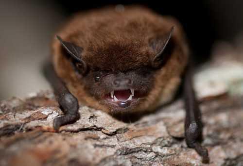 Чем опасны летучие мыши для человека