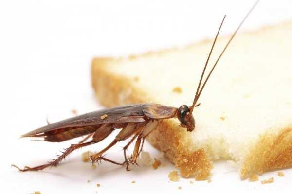 Как избавиться и откуда берутся тараканы в квартире