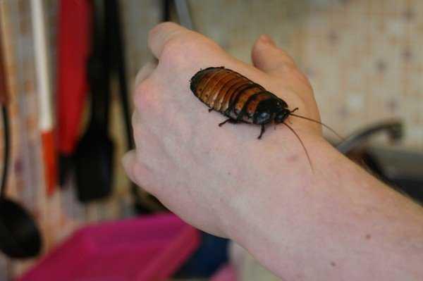 Кусаются ли тараканы или это миф?