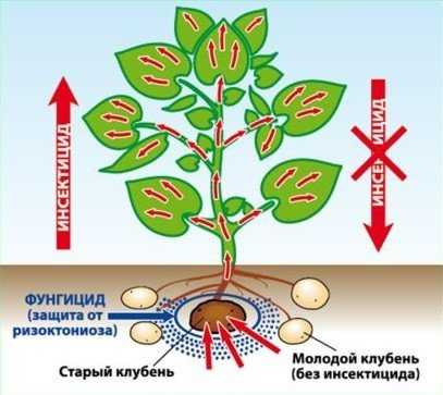 Как и чем проводить обработку клубней картофеля перед посадкой от колорадского жука