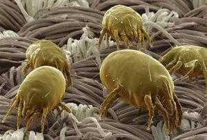 Эффективные методы борьбы с пылевыми клещами и фото этих насекомых под микроскопом