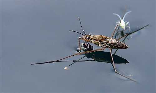 Клоп водомерка биологические особенности — описание водомерки