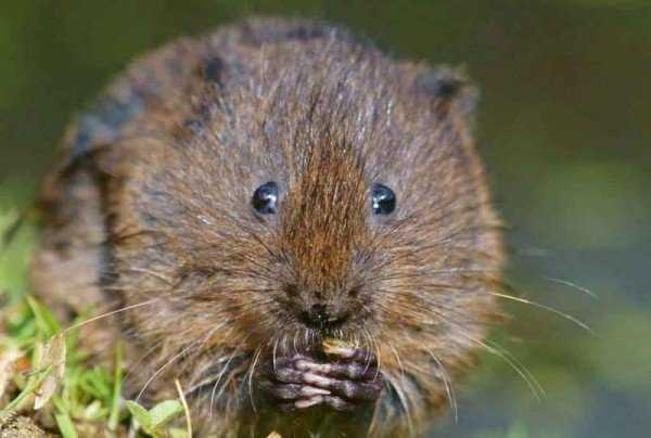 Как избавиться от земляной крысы на огороде