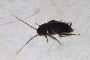 Борьбa с тараканами при помощи покупных инсектицидов и народных рецептов