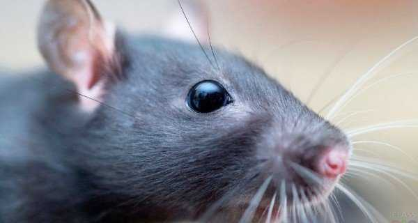 Сколько живут дикие и домашние крысы