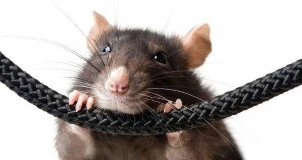 Сколько живут крысы с отеком легких thumbnail