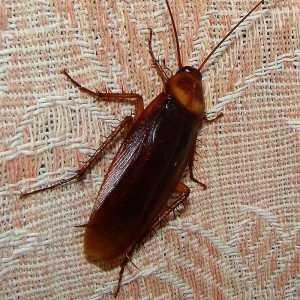 Уничтожeние тараканов при помощи специальных препаратов и народных средств