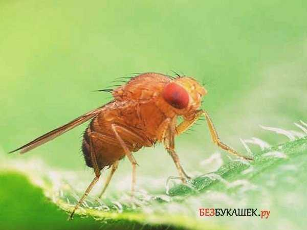 Как бороться с мухами дрозофилами в квартирах