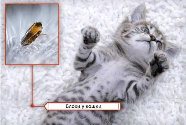 Средства от блох для кошек в домашних условиях — народные и аптечные
