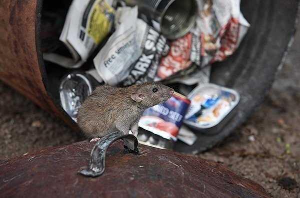 Как долго крысы живут в доме