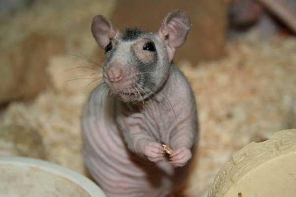 Как долго крысы живут в доме, декоративно и дико.