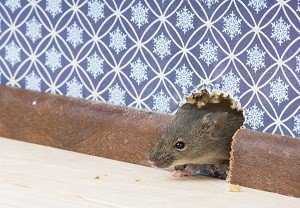 Чего боятся грызуны и как избавиться от мышей в частном доме навсегда: эффективные способы борьбы и профилактические рекомендации