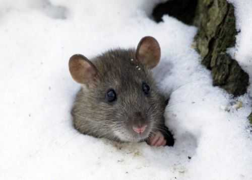 Защита винограда от мышей зимой