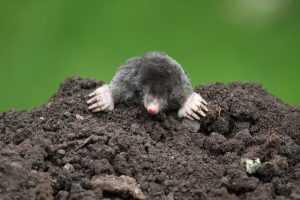 Эффективные средства борьбы с кротами на садовом участке