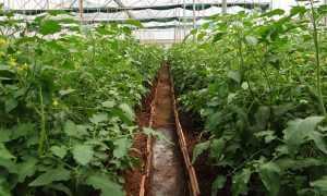 Как избавиться от белокрылки на томатах в теплице