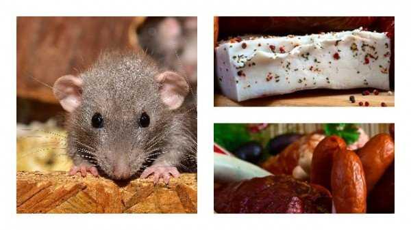 Чем приманить грызунов: что любят мыши и крысы