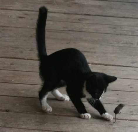 Как научить кошку ловить мышей
