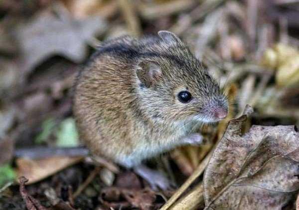 Полевая мышь – описание и образ жизни