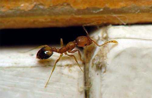 Средство от мелких рыжих муравьев в квартире