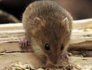 Народные способы борьбы с мышами