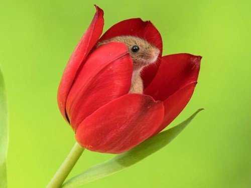Как уберечь тюльпаны от мышей