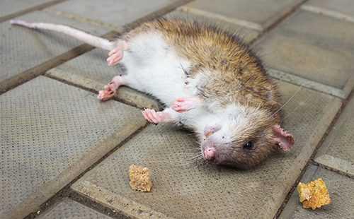 Как поймать крысу вдоме: обзор ловушек, ядов инародных средств