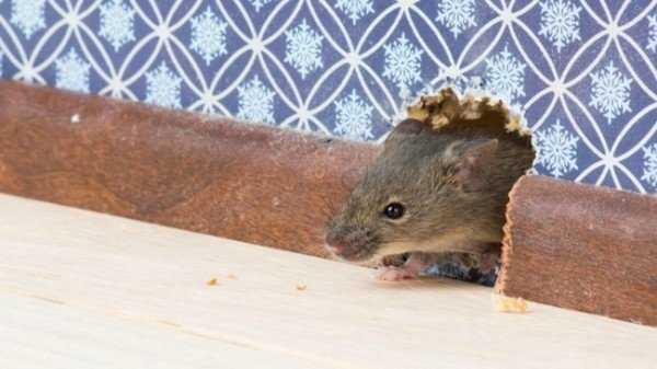Чем убрать запах мышей в доме