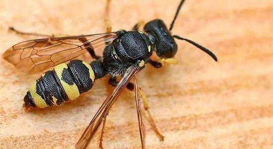 Как жалит оса, оставляет ли она жало и почему она не умирает после укуса как пчела?
