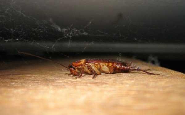 Агран от тараканов поможет там, где остальные яды бессильны