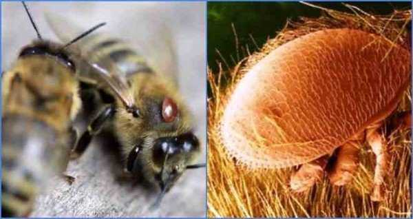 Что такое варроатоз пчел и каковы методы его лечения
