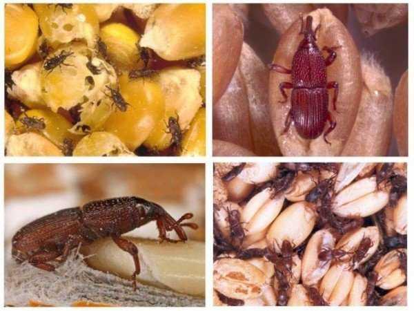 Как избавиться от зернового долгоносика: описание вредителя и эффективные методы борьбы