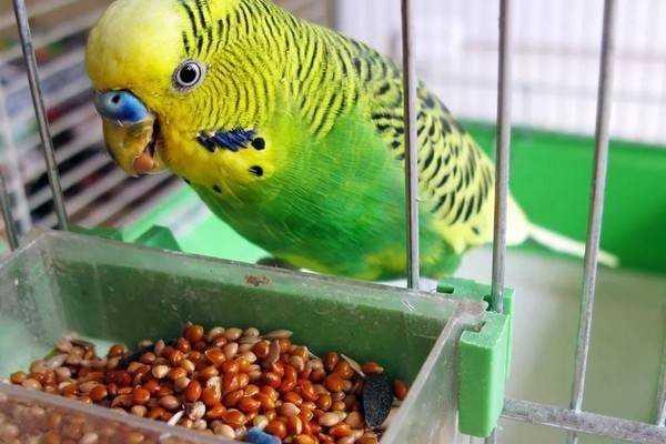 Клещ у попугая — заражение, симптомы, опасность, эффективное лечение