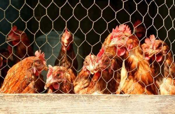 Красный куриный клещ: как избавиться от вредителя и защитить птиц