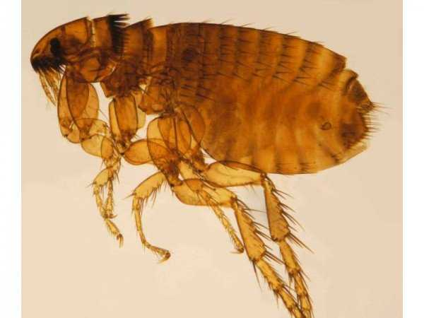 Кровососущие насекомые в постели или кто кусает по ночам?