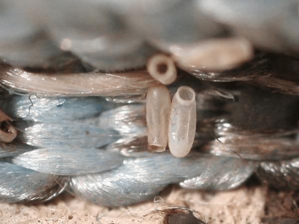 Постельные клопы: морфологические и прочие подробности