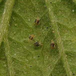 Вредители огурцов и меры борьбы с ними