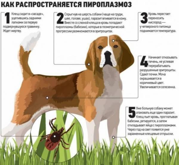 Собаку укусил клещ, что делать? Симптомы, первая помощь и схема лечения