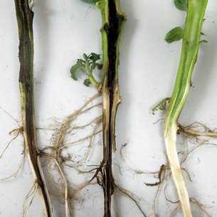 Болезни и вредители капусты: описание и меры борьбы