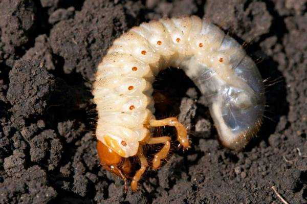 Как избавиться от хрущей и личинок майского жука?