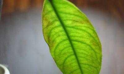 Распространённые болезни комнатных растений: липкие листья