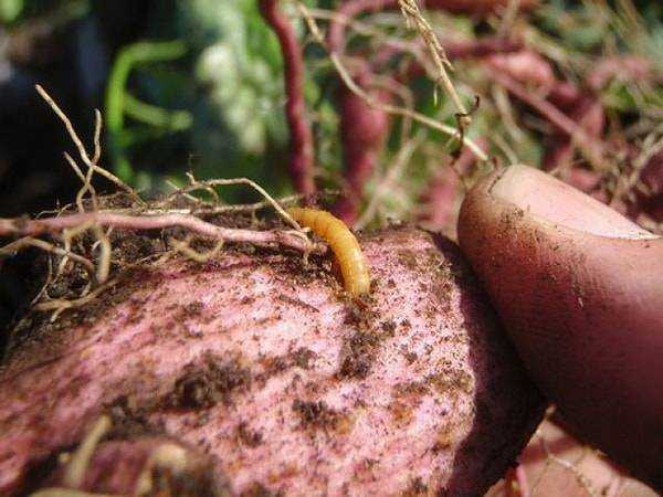 Защита от проволочника в огороде