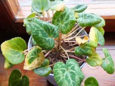 Почему желтеют и скручиваются листья у цикламена?