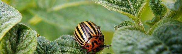 Инструкция по применению к средству от колорадского жука «Жукоед»